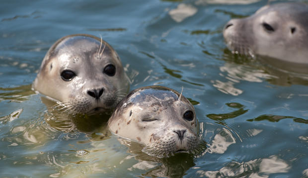 Abandoned seals returned to wild
