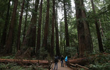 Redwoods and sequoias thrive despite climate change