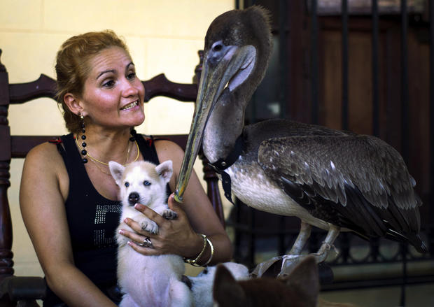 Pancho the pelican