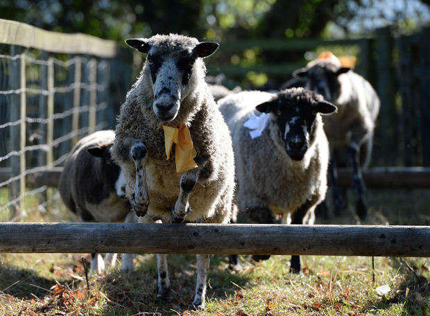 Bleating the competition at UK sheep fair