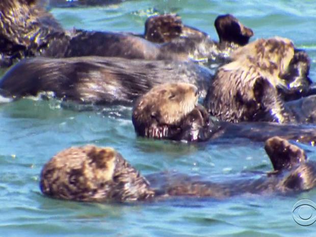 在蒙特利湾水族馆的水獭救援队的帮助下,海獭产生了创纪录数量的幼崽。