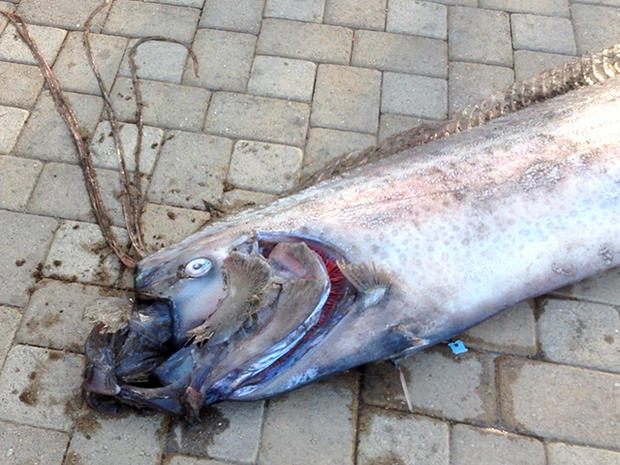 Giant sea creature found off Calif.