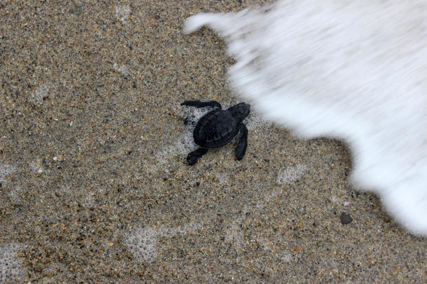 Turtle hatchlings head to the sea
