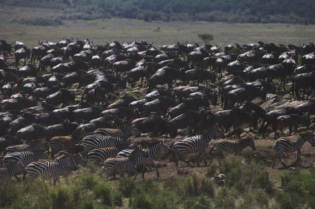 Rare Wildebeest migration
