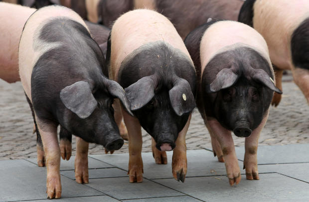 German protest goes hog wild
