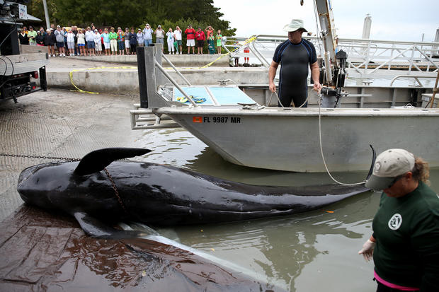 Pilot whales stranded on Fla. coast
