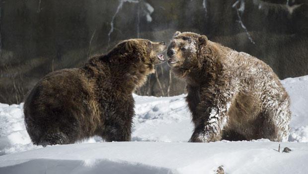 brown_bears.jpg