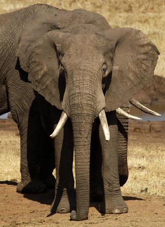 Elephant census