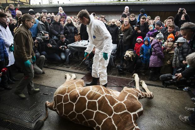 Giraffe fed to lions at Danish zoo