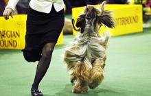Parade of pooches at Westminster