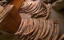 U.S. cracks down on elephant ivory trade