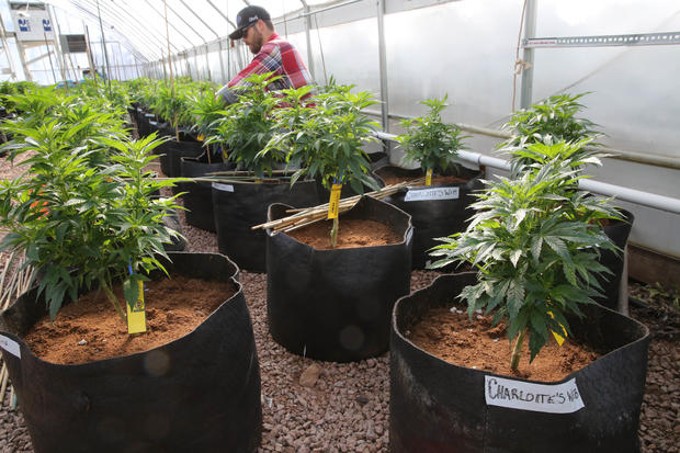 Special pot strain attracts pediatric patients