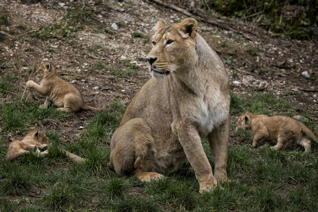 Rare lion cubs born in France