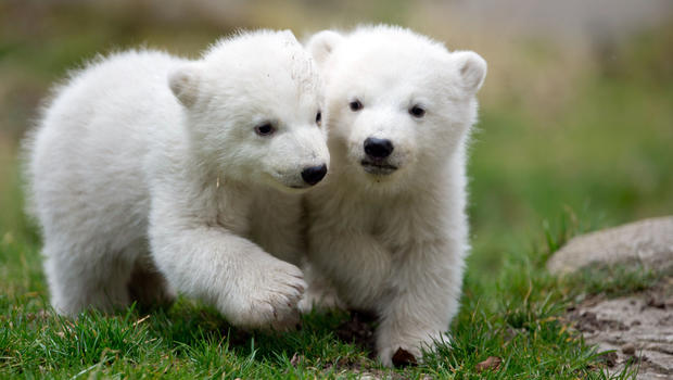 polarbeartwins1.jpg