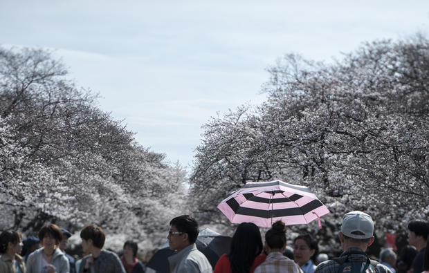 Cherry blossom season in Japan