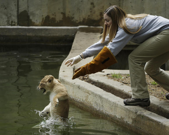 Lion cubs take sink-or-swim test