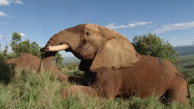mond305-animal-rights-sanjayan-elephant-poaching-evepkg-mp4-still004.jpg
