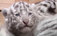 Five rare white tiger cubs born in Austrian zoo