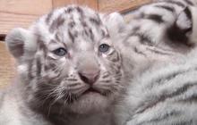 Five rare white tiger cubs born in Austrian zoo