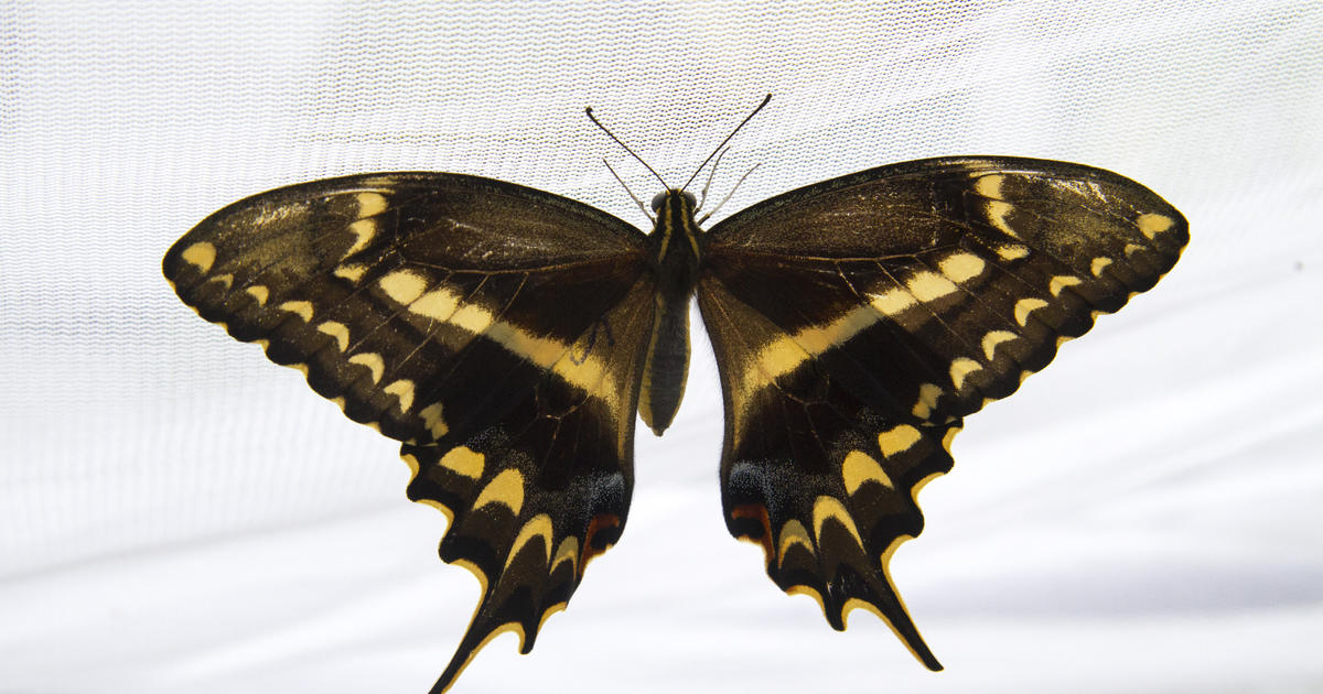 Tiger swallowtail butterfly life cycle