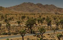 Severe drought threatens Joshua trees