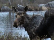 thoreau-maine-woods-moose-promo.jpg