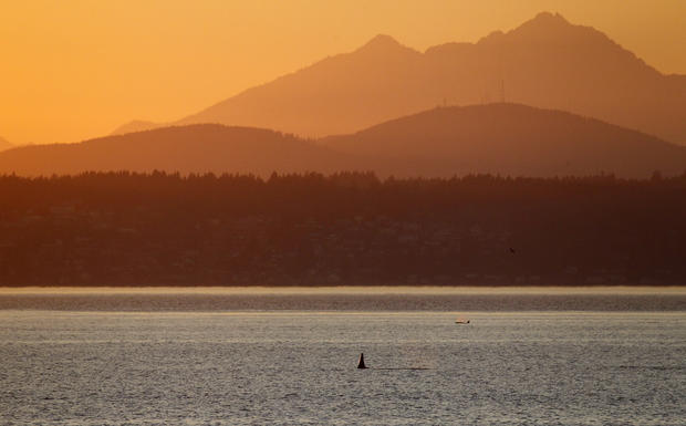 Orcas in Puget Sound