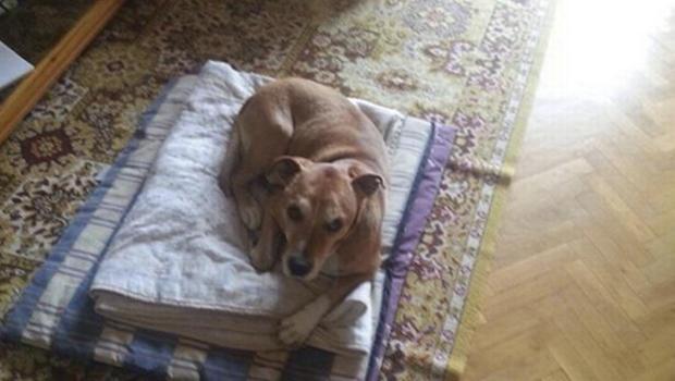 Excalibur是西班牙护士Teresa Romero的狗,他与埃博拉病毒感染者,在2014年10月8日提供的这张未注明日期的宣传照片中躺在地板上。