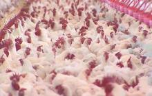 Antibiotics used on animals more than humans