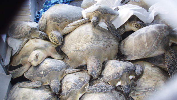 Image result for cold stunned sea turtle