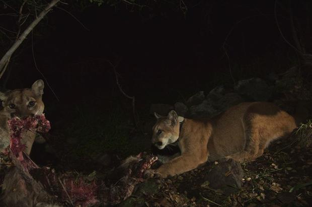Mountain lion cubs caught on camera