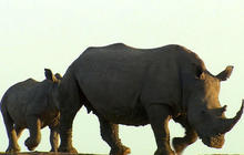 Inside the race to save rhino herds from poachers