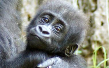 A baby gorilla's special name