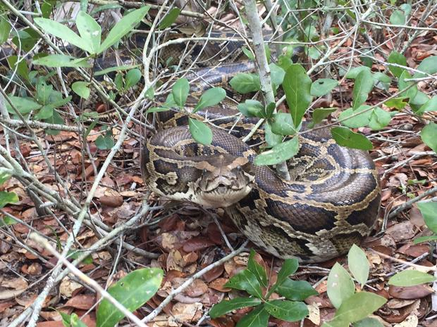 burmese pythons taking over the florida Hungry florida python ate 3 deer in 3 months it's been known that burmese pythons have been taking over the florida everglades for quite some time now.