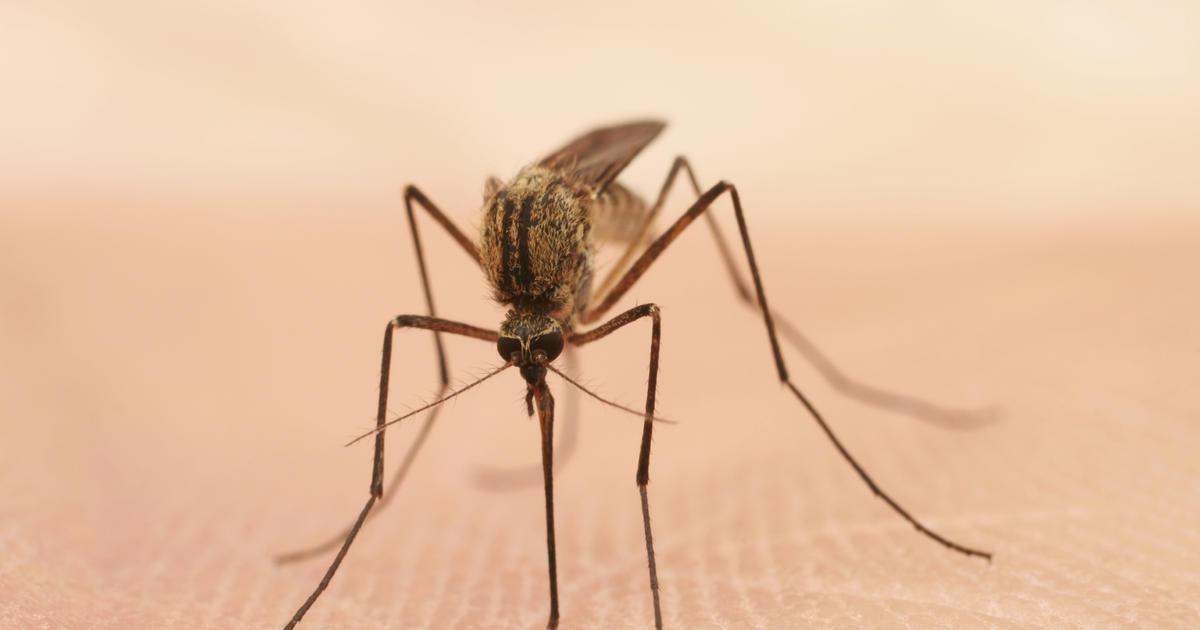 Mosquito-borne chikungunya virus can cause brain swelling ...
