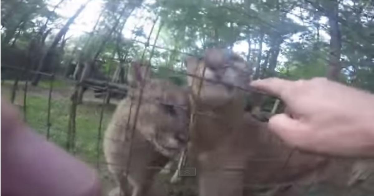 ohio cougars