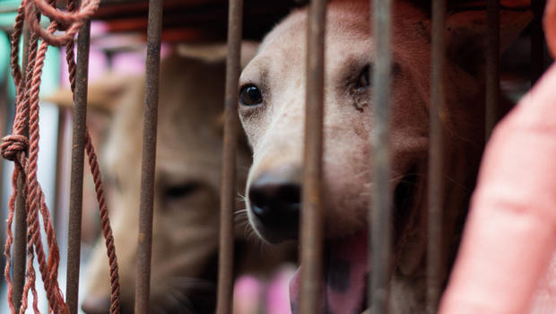 A dog looks out through its cage with a stall throughout a dog meat festival in a market in Yulin throughout southern China's Guangxi <a href