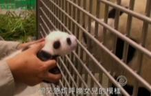 Mother panda reunited with cub in Taiwan