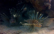 FL Declares War on Lionfish Sunmolionfish1011455207640x360