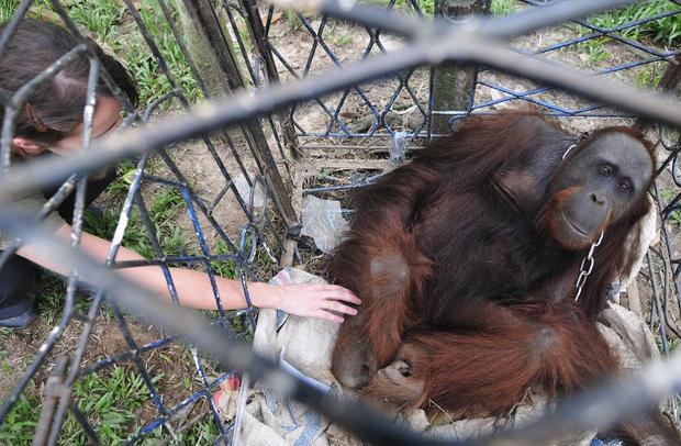 Plight of orangutans - Orangutans in jeopardy - Pictures ...