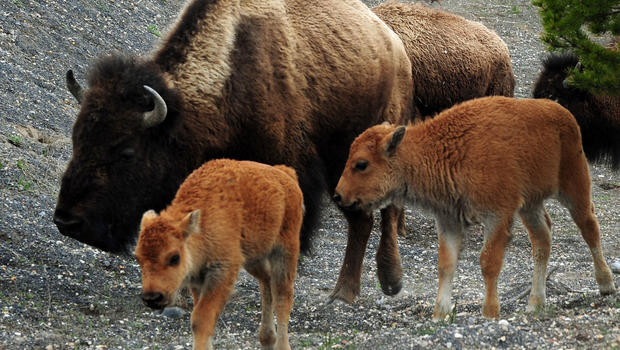 Bison ambles closer to being national mammal after action