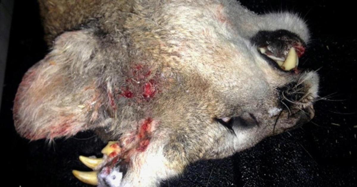 deformed mountain lion baffles biologists  cbs news