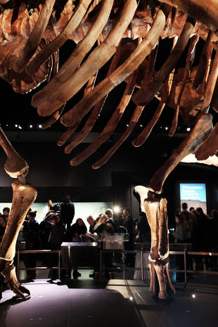 Titanosaur takes New York by storm