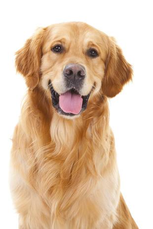 No 6 french bulldog top dog breeds in the u s for Internotes r web retriever