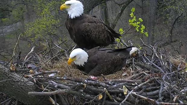 Second eaglet hatches on D.C. Eagle Cam - CBS News