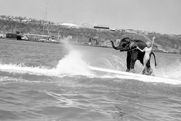 Queenie waterskiing elephant  newikiscom