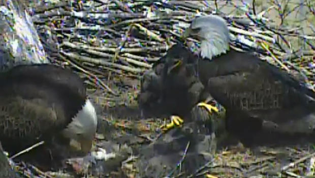 Eagle cam catches cat being fed to eaglets - CBS News