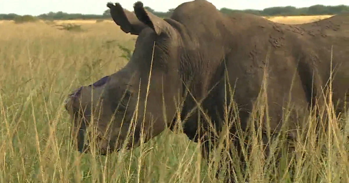 South Africa rhino horns cut off in conservation effort to