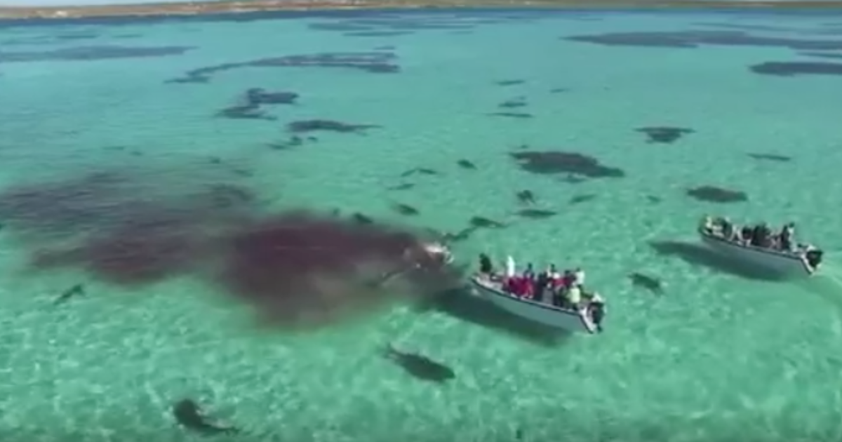 Drone Video Captures Shark Feeding Frenzy From Above Cbs