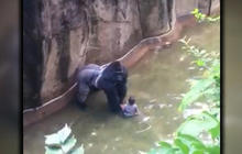 Was decision to kill gorilla justified ?
